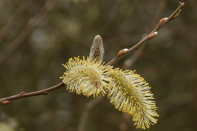 03 - March - Pussy Willow Catkin